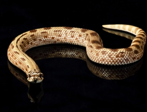 red-anaconda-male-2